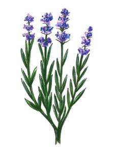 3 lavendula sml